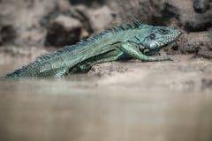 Одичалый зеленый конец игуаны вверх в среду обитания природы Стоковое Изображение RF