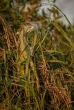 Одичалый зеленый конец игуаны вверх в среду обитания природы Стоковые Фотографии RF