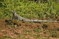 Одичалый зеленый конец игуаны вверх в среду обитания природы Стоковые Изображения