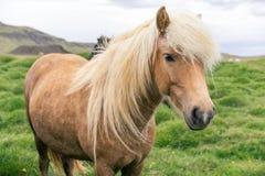 Одичалый исландский пони Стоковое Изображение