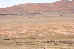 Одичалый ишак в горе Стоковые Изображения RF