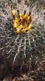Одичалый кактус Стоковое Изображение RF