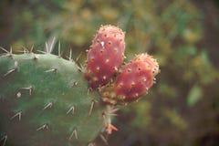 Одичалый кактус Стоковая Фотография