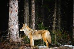 Одичалый койот Стоковая Фотография