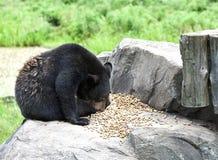 Одичалый конец бурого медведя вверх Стоковые Фотографии RF