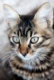 Одичалый конец-вверх котенка Стоковое Фото