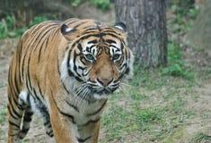 Одичалый конец тигра вверх по портрету Стоковые Изображения RF
