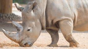 Одичалый коричневый носорог стоковая фотография rf