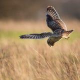Одичалый короткий ушастый сыч останавливает в полете и начинает нырнуть на добыче Стоковые Изображения RF