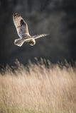 Одичалый короткий ушастый сыч останавливает в полете и подготавливает нырнуть на добыче (flammeus Австралийской службы безопаснос Стоковые Изображения