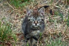 Одичалый котенок tabby Стоковые Фотографии RF