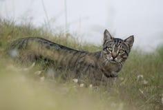 Одичалый кот Стоковые Изображения RF