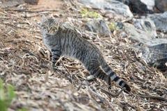 Одичалый кот Стоковые Изображения