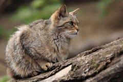Одичалый кот Стоковые Фотографии RF