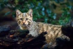 Одичалый кот, silvestris кошки, животное в среду обитания леса дерева природы, Центральная Европа стоковые изображения