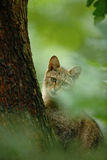 Одичалый кот, silvestris кошки, животное в среду обитания леса дерева природы, спрятанной в стволе дерева, Центральная Европа Сце Стоковое Изображение RF