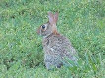 Одичалый кролик в дворе Стоковая Фотография
