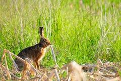 Одичалый кролик в природе стоковое фото