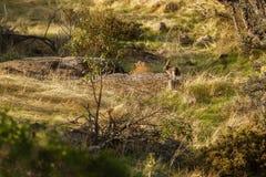 Одичалый кролик в среду обитания природы Стоковая Фотография