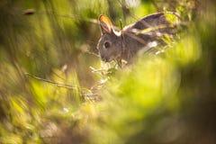 Одичалый кролик, Шотландия Стоковые Изображения