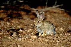 Одичалый кролик Стоковое фото RF