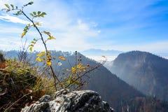 Одичалый куст роз на горе Sokolica Стоковые Изображения RF