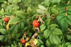 Одичалый куст роз с яркими и зрелыми ягодами Стоковое Фото