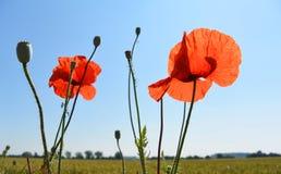 Одичалый мак цветет на предпосылке голубого неба Стоковые Изображения