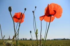 Одичалый мак цветет на предпосылке голубого неба Стоковое Фото