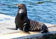 Одичалый морсой лев Калифорнии взрослого мужчины Стоковая Фотография RF