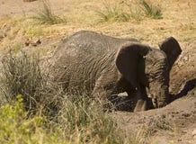 Одичалый молодой, африканский слон играя в грязи, национальном парке Kruger, Южной Африке Стоковые Фотографии RF