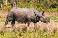 Одичалый носорог на Jaldapara Стоковое Изображение RF