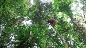 Одичалый орангутан взбираясь вниз от дерева Стоковые Изображения RF