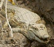 Одичалый перуанский caiman Стоковые Изображения