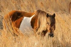 Одичалый пони в cordgrass на Assateague в Мэриленде Стоковая Фотография RF