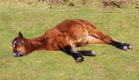 Одичалый пони лежа - Bodmin причаливает, Корнуолл Великобритания Стоковое Изображение