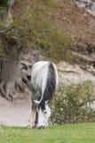 Одичалый пони пася в новом лесе Стоковое Изображение