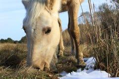 Одичалый пони Стоковые Фото