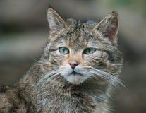 Одичалый портрет кота Стоковое фото RF