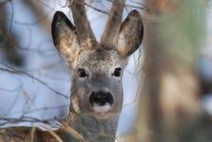 Одичалый портрет оленей козуль стоковая фотография