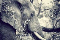 Одичалый портрет слона Стоковое Изображение