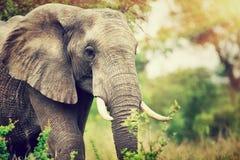 Одичалый портрет слона Стоковые Фото