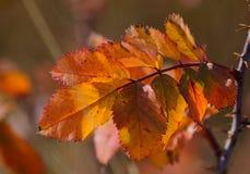 Одичалый подняли листья, падение Стоковое Фото
