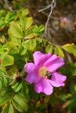 Одичалый поднял и путайте пчела Стоковые Фотографии RF