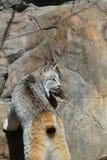Одичалый рысь Стоковая Фотография RF