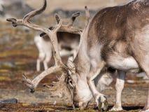 Одичалый северный олень - арктика, Свальбард Стоковая Фотография RF