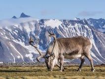 Одичалый северный олень в естественной ледовитой окружающей среде - Свальбарде Стоковое Изображение RF