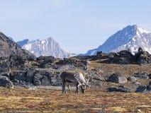 Одичалый северный олень на фронте гор - арктике, Свальбарде Стоковая Фотография