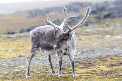 Одичалый северный олень Стоковые Изображения
