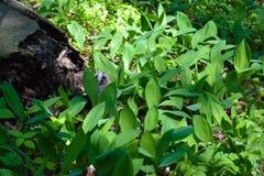 Одичалый серый сыч спать в лилиях долины Стоковые Изображения RF